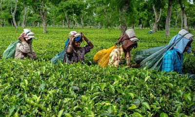Workers carry bags of tea leaves at the Korangani Tea Estate in the Dibrugarh district of Assam, India