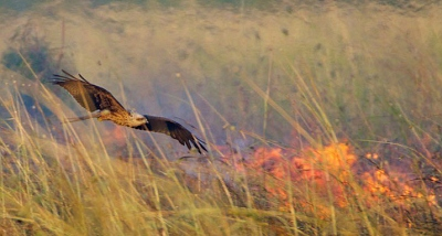 Raptors, including the whistling kite, are intentionally spreading grass fires in northern Australia