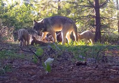 The father, whose origin is a mystery, is a black-furred male that began traveling with the pack last year
